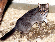 Rusty spotted cat.jpg